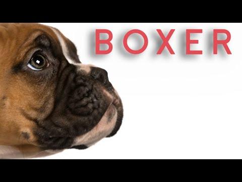 Boxer Dog | பாக்ஸர் நாய்கள் | Storyboard | தமிழ்