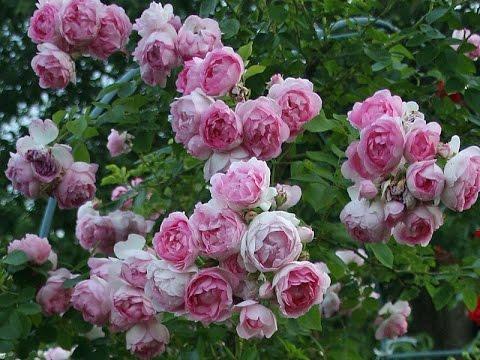 """Розы Тантау (Tantau) от садовой фирмы """"Виктория"""""""