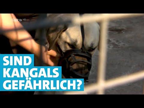 Kangal-Hunde - Wie