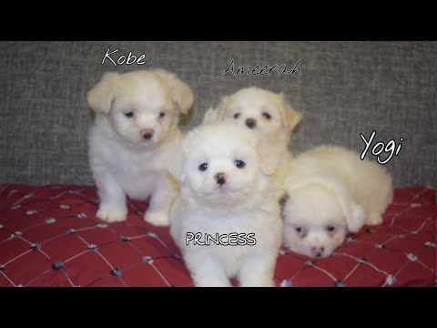 Japanese Spitz And Shih Tzu Breeding | Siblings | Meet My Adorable Puppy