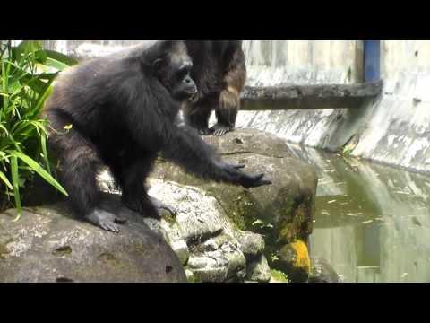 Ngakak , Sebelum Minta Makanan Simpanse Keplok Tangan Dulu