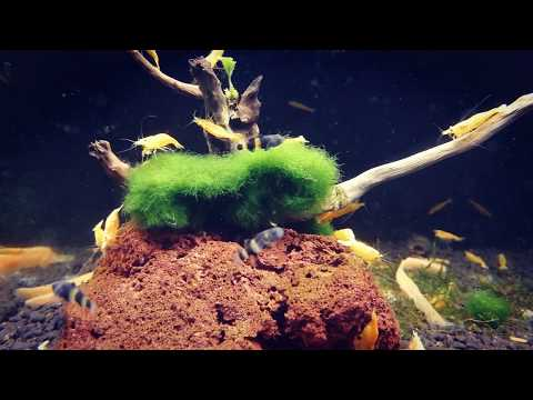 Býčko Zlatopásy - Brachygobius Doriae - Hlavačka Zlatopásá Www.shrimp.sk