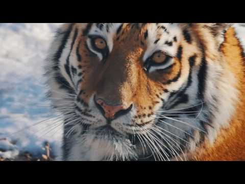 Amur Tiger. The biggest Cat in the world.