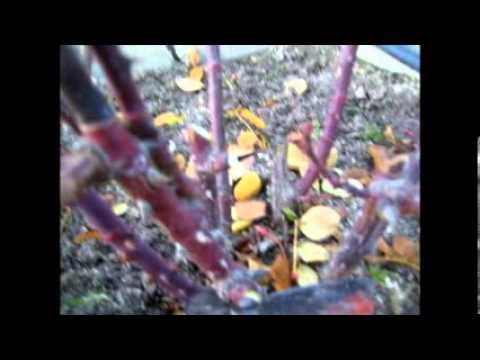 Rosales cuidar podar y reproducir por esqueje 2 15 01 - Como injertar rosales ...
