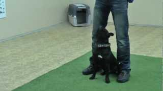 Staffordshire Bullterrier - Short Obedience. Heeling Tips For Your Puppy Training!