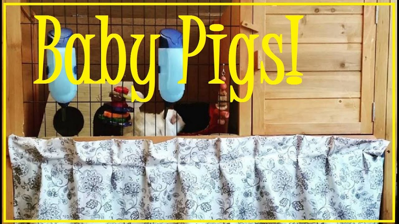 Easy Diy Multi Level Cage And Baby Guinea Pigs Youtube