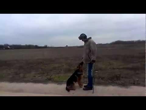 дрессировка щенка немецкой овчарки-6 месяцев