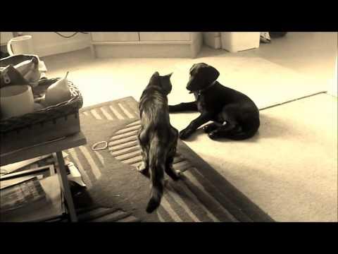 Doberman/Labrador puppy & his kitten.