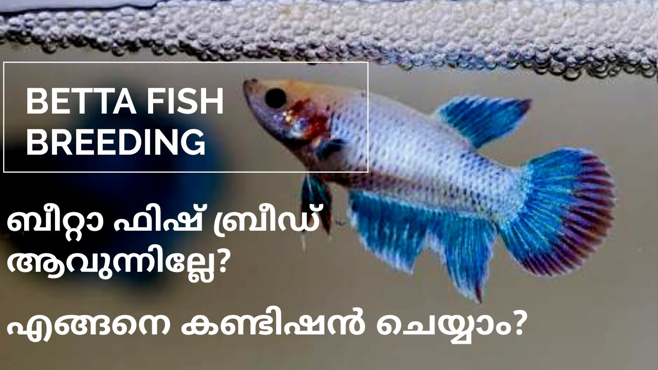 Betta Fish Breeding And Conditioning Malayalam | Fighter Fish malayalam