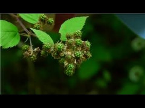 Maintaining & Pruning Shrubs : How to Control Wild Blackberries