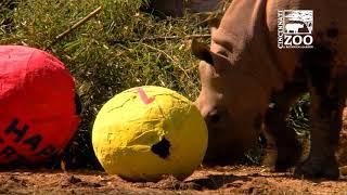 Black Rhino Kendi Celebrates His 1st Birthday - Cincinnati Zoo