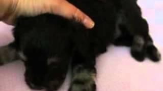 A.k.c. Liver/tan Mini Schnauzer Puppy 8/19/2011