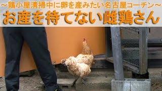 """2017年4月下旬のこと。 鶏小屋の水洗い清掃を終えて干していると、雌鶏""""..."""