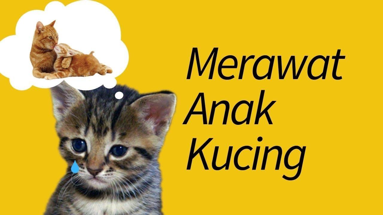 Cara Merawat Anak Kucing Tanpa Induk Step By Step Meowcitizen