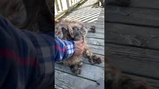 Big Silver Maine Coon Cat   Loves a good Chin Scratch   #shorts