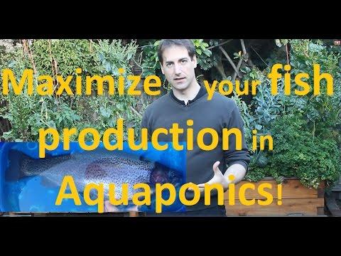 Maximize your fish production in aquaponics!