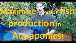 Maximize your fish production in aquaponics!