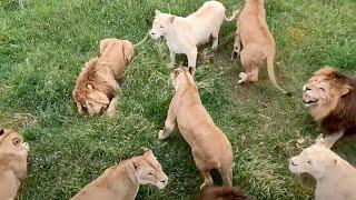 Кормление львов, когда Рыжик был вожаком. Тайган | Feeding the lions. Taigan