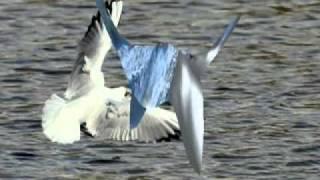 Một loài chim biển -  TuấnVũ&GiaoLinh