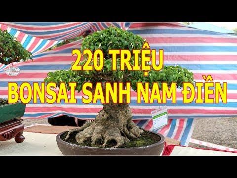 Bonsai Sanh Nam Điền 220 triệu đẹp hoàn hảo đã có chủ nhân mới