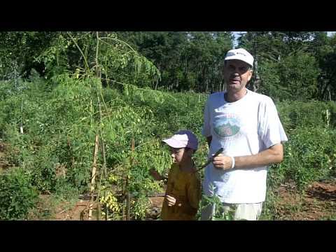 Moringa-Baum nach fünf Monaten