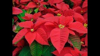 Planta Nochebuena Uso Medicinal