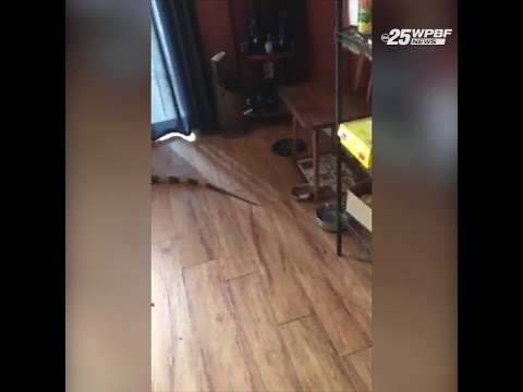 Kelsi - Huge Iguana Strolls Into South Florida Home
