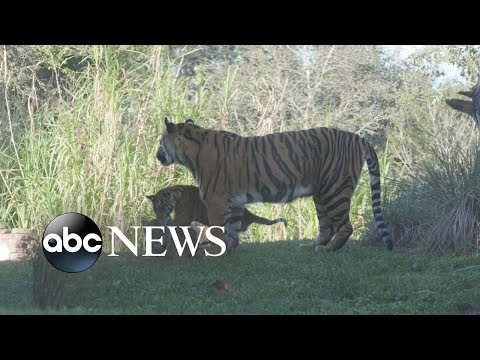 Download Youtube: Meet the 1st tiger cubs ever born at Disney World