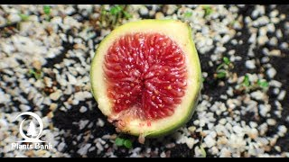 How to Grow Fig | Ficus - Step by Step