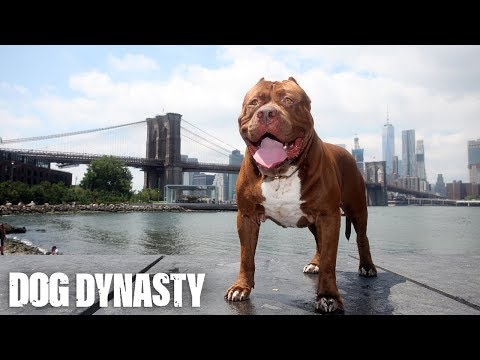 Hulk The Pit Bull Takes Over New York