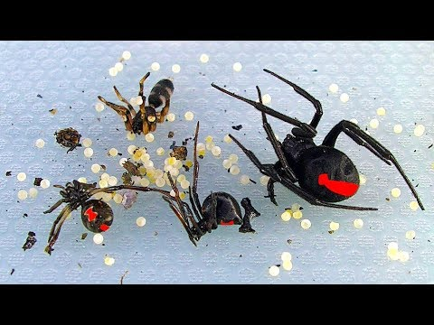 Redback Spiders Sunday BBQ Pest Control In Australia