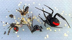 Redback Spiders Sunday Non Chemical BBQ Pest Control In Australia