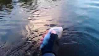 Крупный окунь на отводной поводок река Тура Тюмень рыбалка 2014