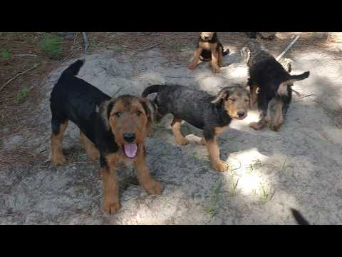 Fire Pit Improvements By Airedale Terrier Boys & Girls Puppies Puppy For Sale On July 9, 2018