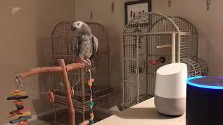 Попугай Рокко болтает с Алексой