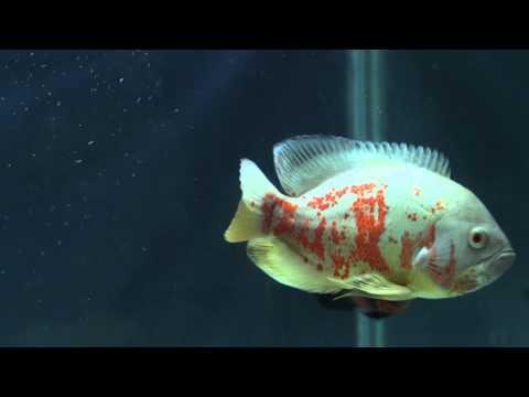 Oscar Fish in Aquarium Video