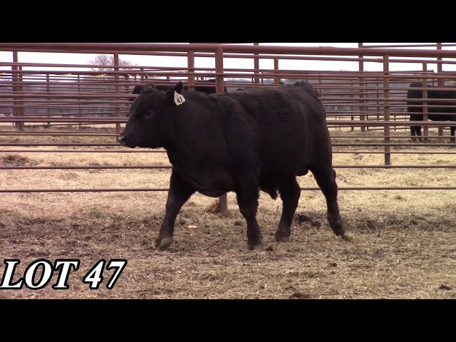 Mead Angus Farms Lot 47
