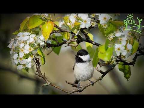 Голоса птиц Как поёт Пухляк, или буроголовая гаичка (Parus Montanus)