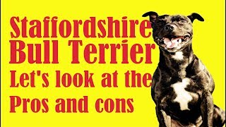 Five reasons why the Staffordshire Bull Terrier does not suit you