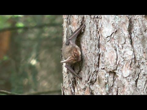 Vleermuizen in Kerckebosch