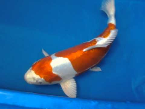 22 kikusui koi fish youtube for Kikusui koi