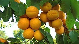 Обрезка абрикоса.(В Данном видео я расскажу о обрезке абрикоса! Также упомяну про обрезку старых косточковых деревьев. Как..., 2017-01-08T13:51:37.000Z)