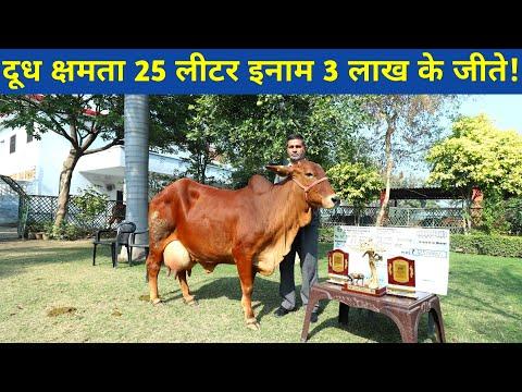 Top Quality Sahiwal cow in Sahiwal dairy farm Karnal Haryana