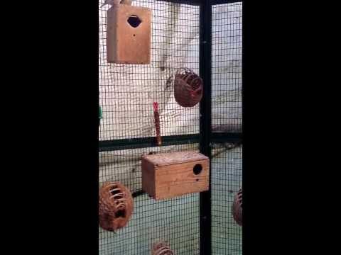 Mes oiseaux avec nid mandarin
