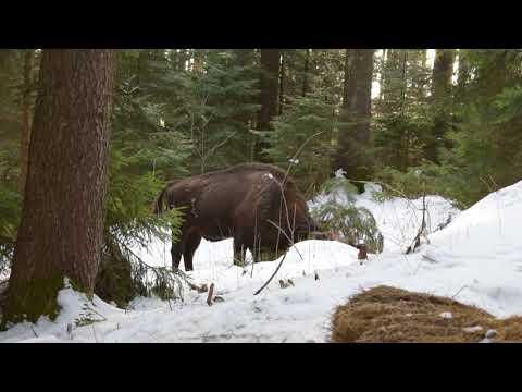 Zimbru jucăuș în Parcul Natural Vânători Neamț din cadrul Romsilva