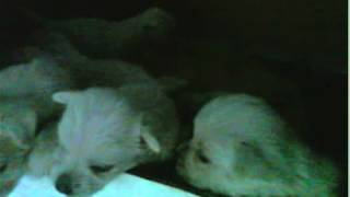 Perritos West Highland White Terrier