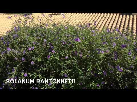 Solanum rantonnetii. Garden Center online Costa Brava - Girona.