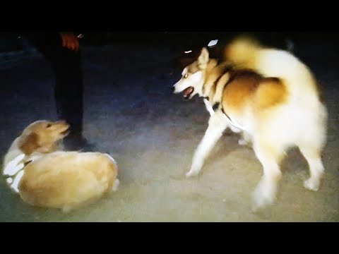 Dominant Husky Tells Golden Retriever To Stay Down/Awesome Rottweilers At Dog Park
