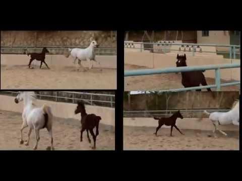 Why Precious (Arabian Horse Documentary In Egypt)