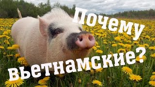 Почему у нас вьетнамские свиньи? // Из города в деревню.